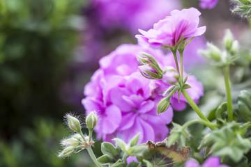 Pelargonium .Gitanillas