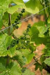 floraison de vigne