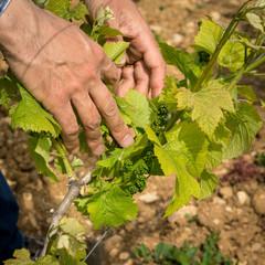 soin de la vigne