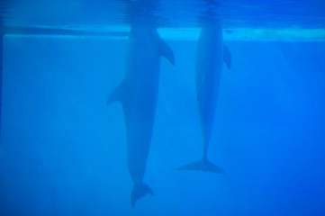 Dolphins in Lisbon Zoo