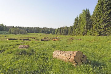 Forest glade with sawn logs