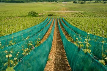 vignes protégées