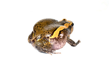Chubby frog isolated in white background