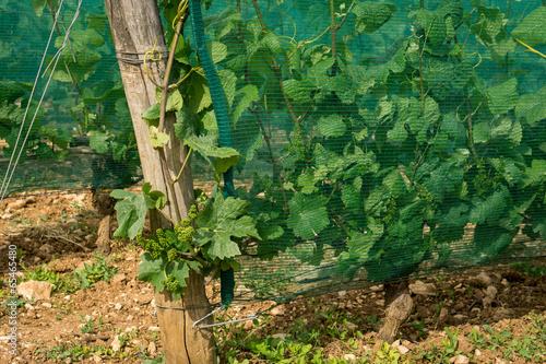 vignes protégées - 65465480