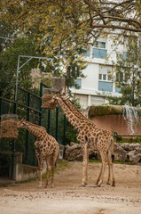 Giraffe in Lisbon Zoo