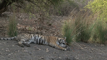 Bengal Tiger (Panthera tigris tigris) relaxing in shade
