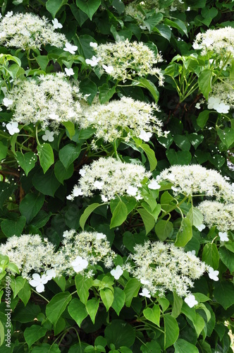 Poster Hydrangea Climbing hydrangea on the tree in the garden