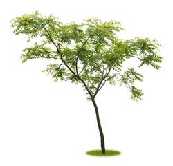 Junger Baum als Freisteller