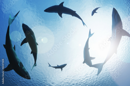 Fototapeta School of sharks circling from above