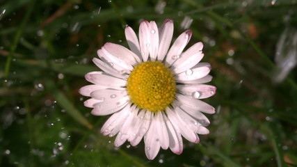 Water falling on daisy in garden