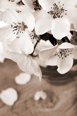 Flower of apple tree, processed in vintage sepia color