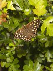 speckled wood butterfly in springtime