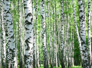 Trunks of birch trees in spring