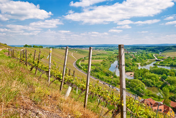 Reben im Weinland Franken an der Volkacher Meinschleife