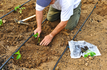 Farmer sowing peppers in the orchard