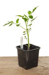 Tomato plant
