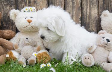 Coton de Tuléar Welpe spielt mit Teddybären
