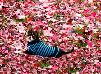Chiwawa sitting on leaves background.