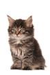 canvas print picture - Maine Coon Kätzchen sitzend Freisteller