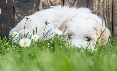 Tierbaby im Sommer Gras: Welpe Coton de Tulear als Konzept