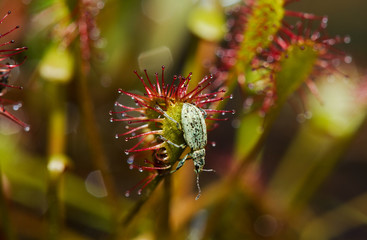 Beetle on the sticky leaf of Oblong-leaved sundew
