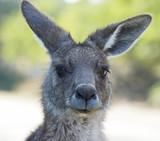 Graues Riesenkänguru, Tasmanien, Australien