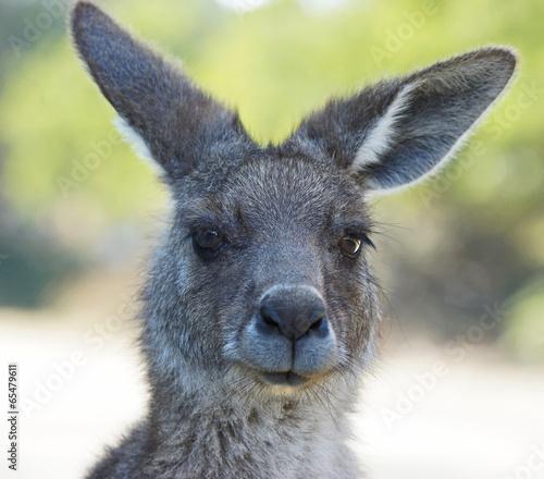 Fotobehang Kangoeroe Graues Riesenkänguru, Tasmanien, Australien