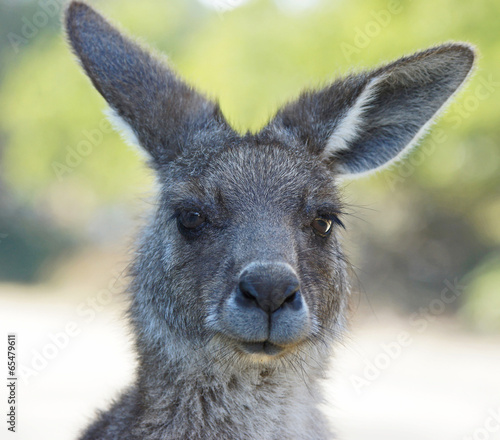 Foto op Canvas Kangoeroe Graues Riesenkänguru, Tasmanien, Australien