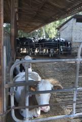 breeding herd