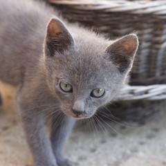 Lurking Kitten