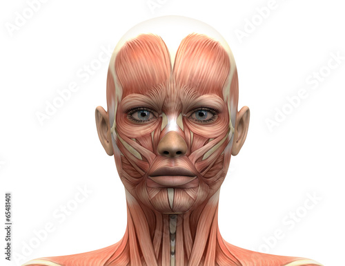 Female Head Muscles Anatomy - Front view - 65481401
