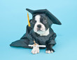 Mad Graduation Puppy