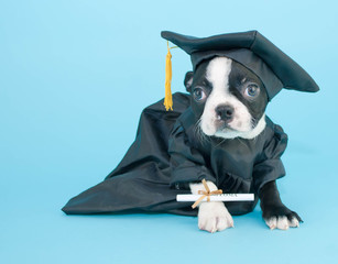 Graduation Puppy