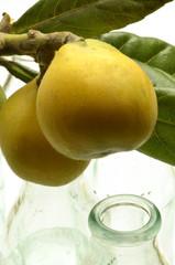 ビワ Eriobotrya japonica Nieśplik japoński Loquat Nespole
