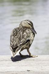 Pato posado 13