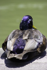 Pato posado 3
