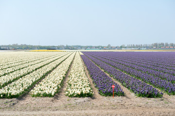 Champs de tulipes en Hollande