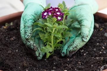 Planting Verbena Flower