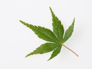 緑の楓葉一枚