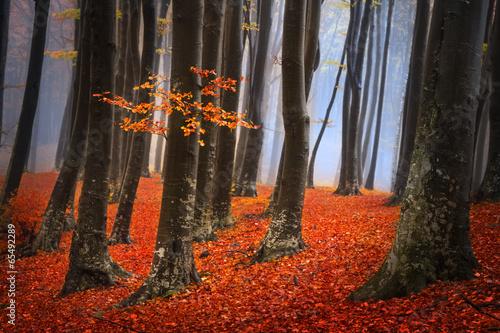 Fototapeta Foggy mystic forest during fall