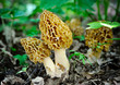 Morel mushrooms grows in forest (Morchella esculenta) - 65493692