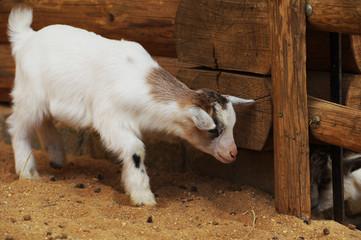 goat little