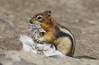 Ground squirrel portrait while eating paper