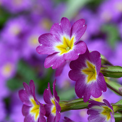 Flower lilac primrose a background