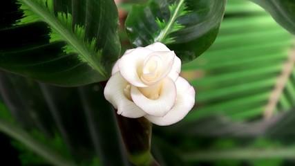 Calathea warscewiczii flower.