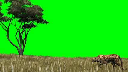 Cheetah sneaks through the savannah -  green screen