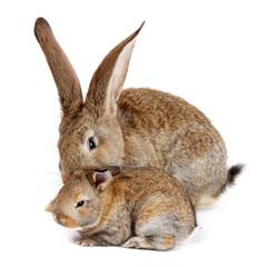 Mother rabbit with newborn bunny