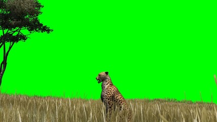 Cheetah in the savanna - green screen