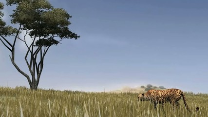 Cheetah sneaks through the savannah