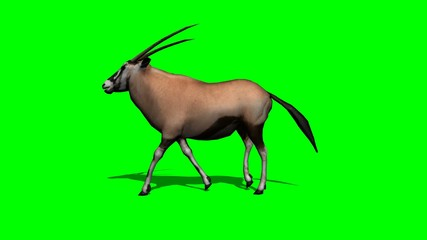 gemsbock antelope walking with shadow - green screen